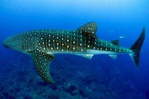 squali-balena